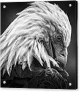 Birds Of Bc - No.30 - Bald Eagle - Keeping Clean Acrylic Print