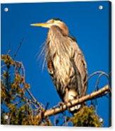 Birds Of Bc - No.7 - Great Blue Heron - Ardea Herodias Acrylic Print by Paul W Sharpe Aka Wizard of Wonders