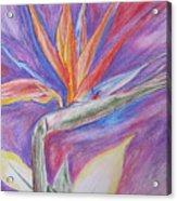 Birds Of Paradise Acrylic Print