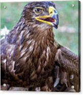 Birds Of Prey Series 3 Acrylic Print