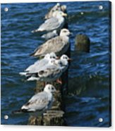 Birds Of The Sea Acrylic Print