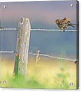 Birds On A Barbed Wire Fence Acrylic Print