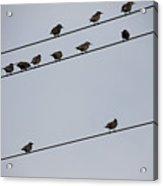 Birds On A Powerline Acrylic Print