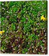 Birdsfoot Trefoil Surrounded By Tiny Bright Eyes In Campground In Saginaw-minnesota Acrylic Print