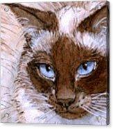 Birman Cat - Blue Eyes. Acrylic Print
