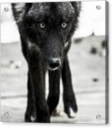 Bishop Wolf Acrylic Print