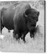 Bison And Buffalo Acrylic Print