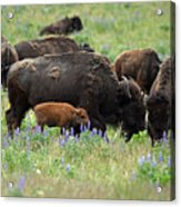 Bison And Lupine Acrylic Print