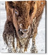 Bison Approaching  8163 Acrylic Print