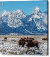 Bison At The Tetons Acrylic Print