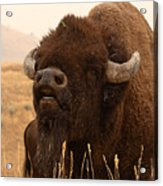 Bison Bellowing At The Sky Acrylic Print