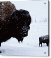 Bison Bison Bison In The Snow Acrylic Print