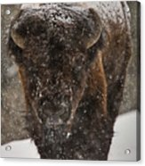 Bison Buffalo Wyoming Yellowstone Acrylic Print by Mark Duffy