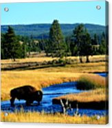 Bison Acrylic Print by Carrie Putz