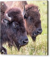 Bison Closeup View Acrylic Print