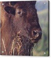 Bison Contemplating Acrylic Print