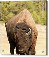 Bison Acrylic Print by Corinna Stoeffl, Stoeffl Photography