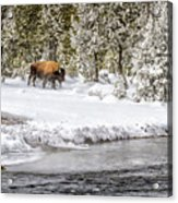Bison Country  8101 Acrylic Print