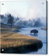 Bison Crosses The Firehole River Acrylic Print
