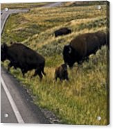 Bison Disrupting Traffic Acrylic Print
