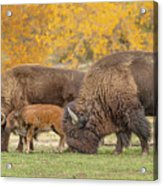 Bison Family Nation Acrylic Print