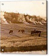Bison Firehole River Yellowstone Acrylic Print