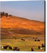 Bison Grazing On Hill At Hayden Valley Acrylic Print