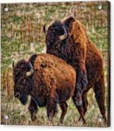 Bison Having Fun Acrylic Print by Paul W Sharpe Aka Wizard of Wonders