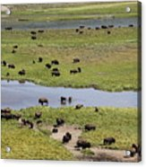 Bison Herd And Yellowstone River Acrylic Print