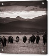 Bison Herd Into The Sunset - Bw Acrylic Print
