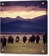 Bison Herd Into The Sunset Acrylic Print