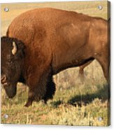 Bison Huffing And Puffing For Herd Acrylic Print