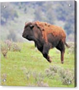 Bison In Flight Acrylic Print