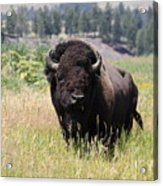 Bison In Grass Acrylic Print