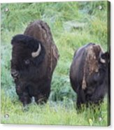 Bison In Love Iv Acrylic Print