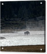 Bison In The River Acrylic Print