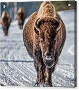 Bison In The Road - Yellowstone Acrylic Print