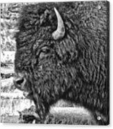 Bison Acrylic Print