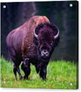 Bison Of Yellowstone Acrylic Print