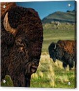 Bison On The Plain Acrylic Print by Paul W Sharpe Aka Wizard of Wonders