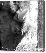 Bison Portrait Monochrome Acrylic Print