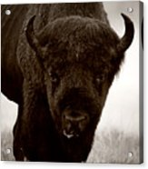 Bison Showdown Acrylic Print