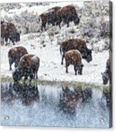 Bison Snow Reflecton Acrylic Print