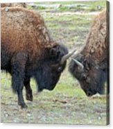 Bison Standoff Acrylic Print