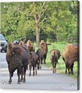 Bison Traffic Jam Acrylic Print