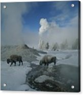 Bison Walking In Front Of Lion Geyser Acrylic Print