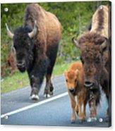 Bison Walking Acrylic Print
