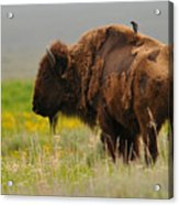 Bison With Cowbird On Back Acrylic Print