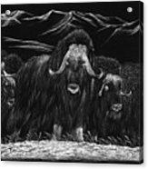 Bisons Acrylic Print