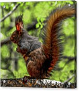 Black Abert's Squirrel - Half And Half Acrylic Print